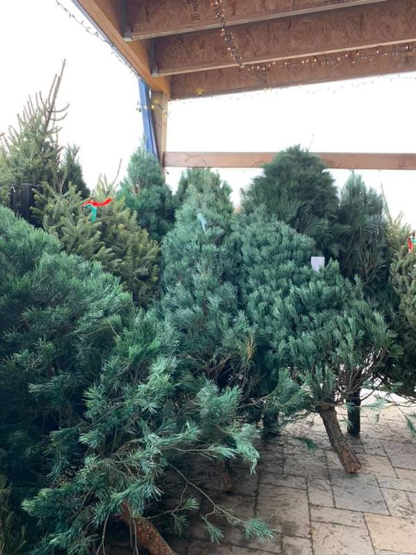 Christmas Trees in the outdoor living area image 2